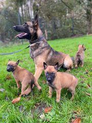 Welpen Belgischer Schäferhund Malinois Welpen