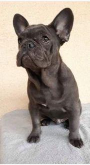 Blue Tan entdeckte französische Bulldogge
