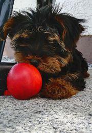 Einmaliger Yorkshire Terrier Welpe