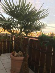 Hanfpalme Trachycarpus Fortunai
