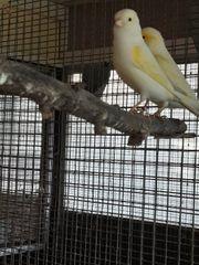 gebe Kanarienvögel ab