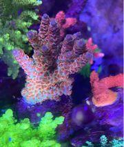 Acropora Mighty Mouse Rarität Meerwasser