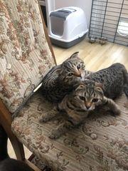 skottisch fold bengal mix Kätzchen