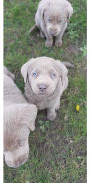 Labrador Welpen Silber Anfragestopp