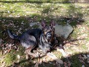 Schäfer Hund 10 Monate alt