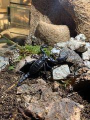 14 kleine Heterometrus Spinifer Skorpione