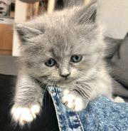 BKH BLH Kätzchen Kitten