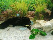 5 Zwergfadenfische cobaltblau im Schwarm
