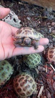 Vierzehensteppen Landschildkröten
