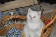Entzückende BKH-Kitten zu verkaufen