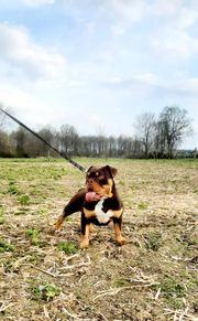 English Bulldog Hündin Schoko tan