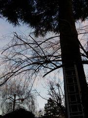 Verschenke Nadelbaum zum abschneiden