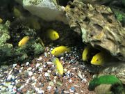 Labidochromis Yellows