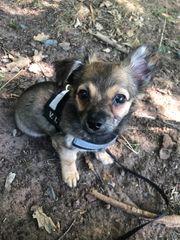 Langhaar Chihuahua Welpe sucht zuhause