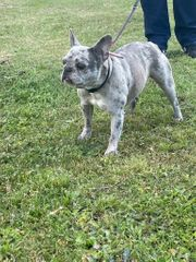 Französische Bulldogge Blue Merle