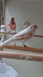 Mosaik Harlekin Satinet Kanarienvögel
