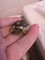 breitrandschildkröten NZ 20