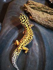 2 Weibliche Leopardgeckos abzugeben mit