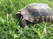 Adulte weibl Breitrandschildkröten Testudo marginata
