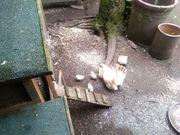 Küken der kleinsten Hühnerrasse der