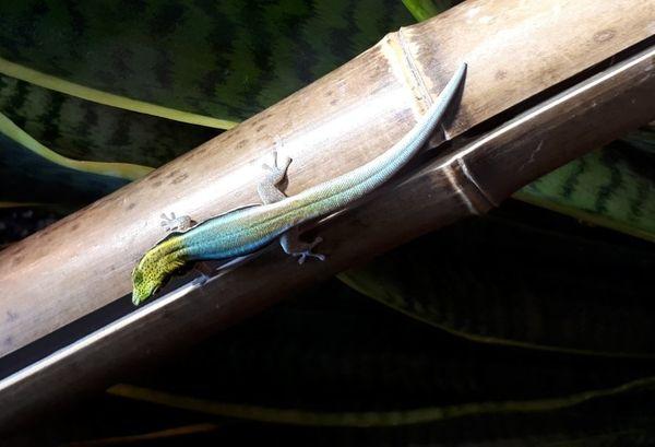 Biete Gecko Taggecko Phelsuma klemmeri