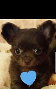Chihuahua Mini reinrassig suchen ihre