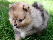 Süßes Mini Pomeranian Zwergspitz Mädchen