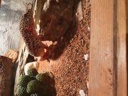 Reserviert Terrarium mit Leopardgecko Männchen