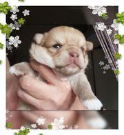 Kl Chihuahua Mädchen reinrassig typvoll