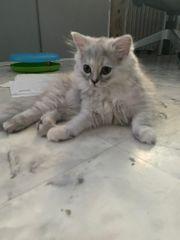 Heilige Birma Perser Mix Kitten