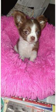 Reserviert Chihuahua Mädchen