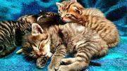 EKH-Mix Kitten Kätzchen Babykatze - Tabby