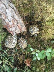 Schöne Nachzuchten griechische Landschildkröten THB