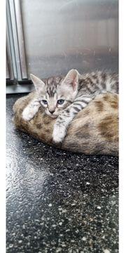 Bengel kitten