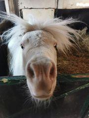 Ponys suchen reitbeteiligung