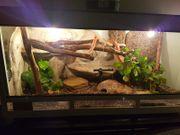 2 Kornnatter mit Terrarium