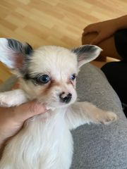 Chihuahua Rüden nur noch 2