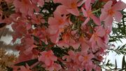 Oleander Farbe lachs
