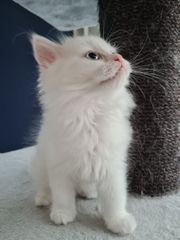 Ragdoll BKH Mix Kitten Abgabebereit