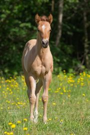 Quarter Horse Hengstfohlen mit toller