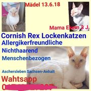 Cornish Rex Lockenmädel