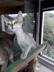 Singapura Katzenkinder 2 x männlich