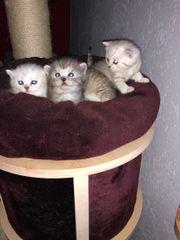Süße Kitten BKH