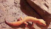 Verschenke Leopardgecko Electric Tangerine het