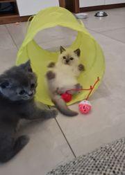 Süße BKH Kitten suchen ein