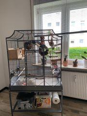 Schwarzköpfchen Paar Agaporniden mit Vogelvoliere