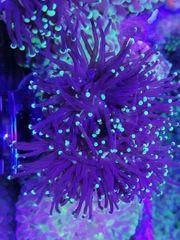 Korallen Korallenableger Meerwasser Euphyllia
