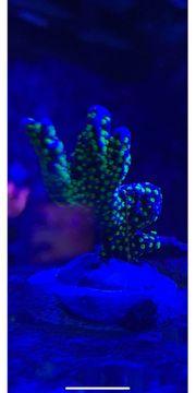 Montipora Star Wars Hispida Koralle