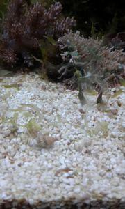 Nassarius schnecken meerwasser