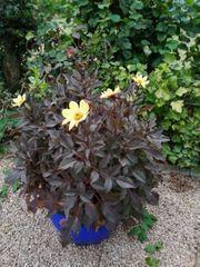 Dahlien rotblättrig mit gelben Blüten